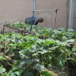 Vegetable garden in an Immigration Detention Center